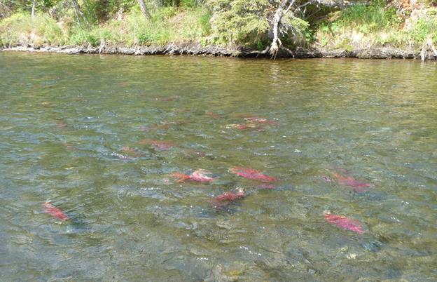 Red Sockeye Salmon in the river