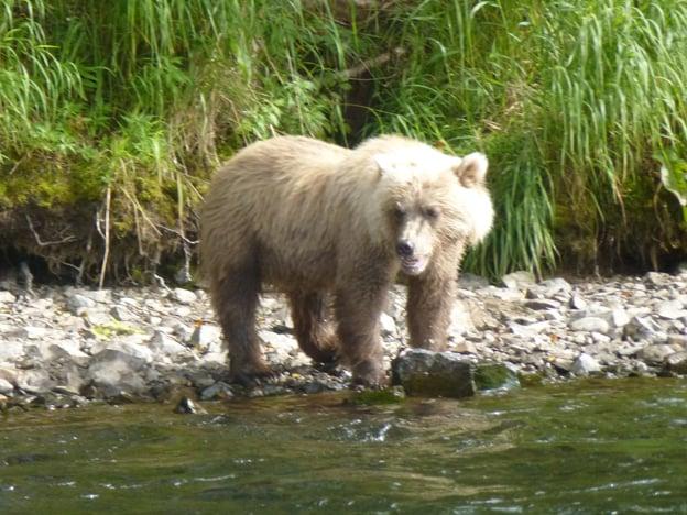 A Bear on the river bank salmon fishing