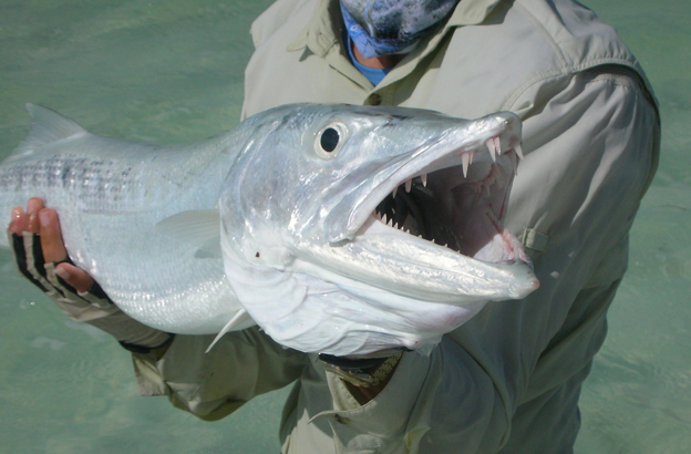 Huge Barracuda from Cuba on the fly