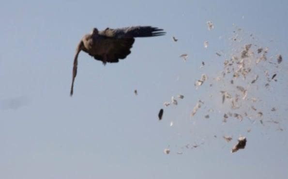 Pigeon season started in Cordoba on May 1