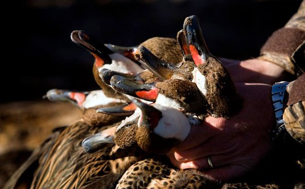 A brace of ducks ready for the pot A Quick Shooting Report From Argentina