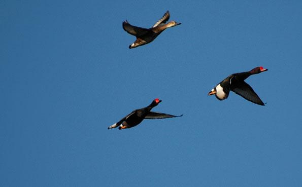ducks in flight Father & Son Visit Argentina Report