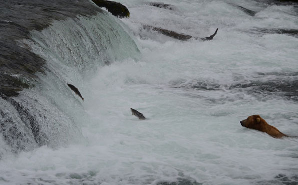 just look at those salmon jumping past all the bears fishing in alaska