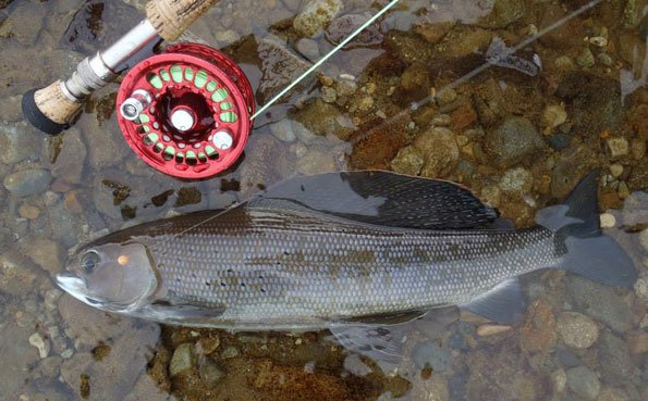 a nice grayling at our no see um lodge report alaska
