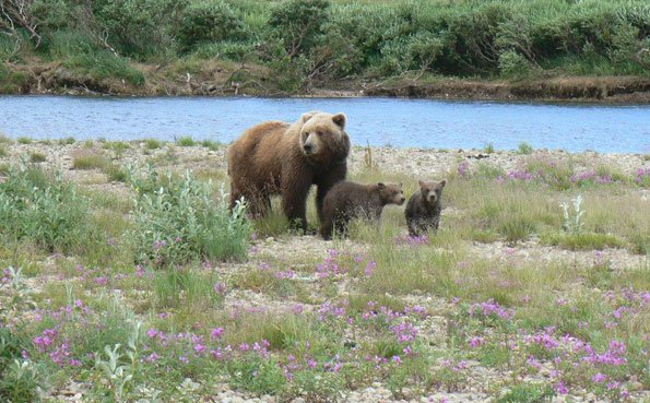 a bear and her cubs on the river bank at no see um lodge alaska