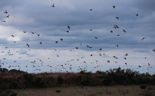 A huge flock of Doves Cordoba Argentina Dove Shooting Report