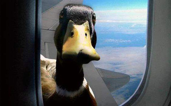 Duck on the wing of a plane Argentina Shooting report