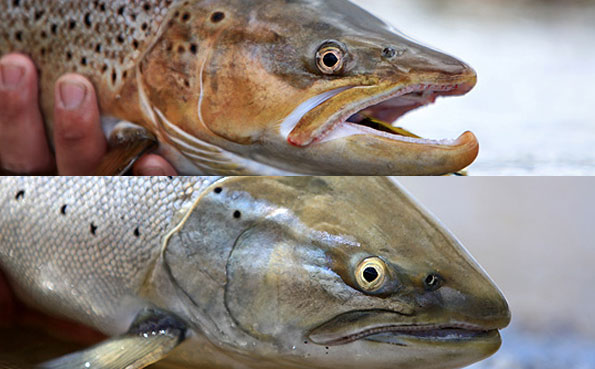 close up of a sea trouts head, stunning fish in argentina