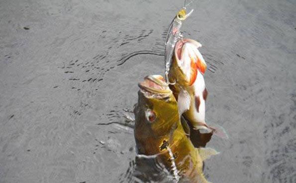 Brazil Peacock Bass Fishing