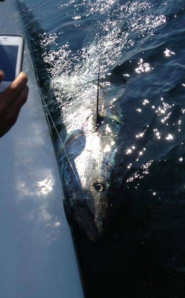 Taking a picture of the huge tuna New Bluefin Tuna Destination Report