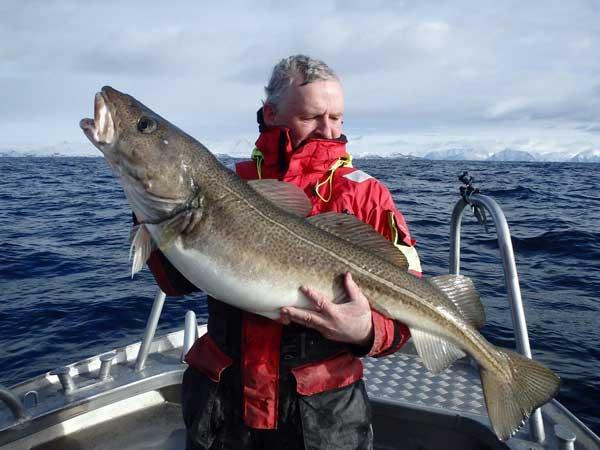 Stunning cod from Soroya Norway Fishing Report