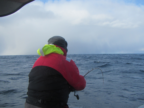this man has just hooked a massive cod Norway Fishing Report