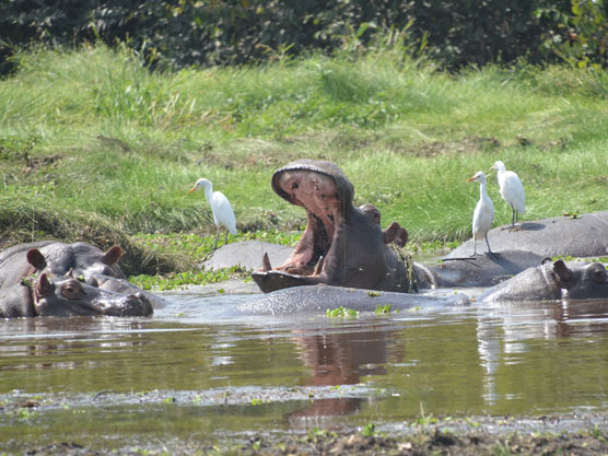 Hippos relaxing in the sun New Destination Guinea Bissau Report