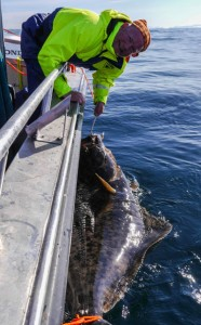 Holding the Halibut by the boat Norway fishing report