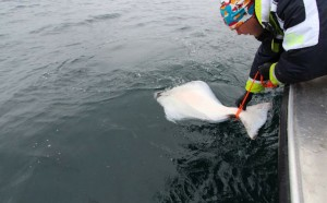 An angler releasing his Halibut Fishing report Norway