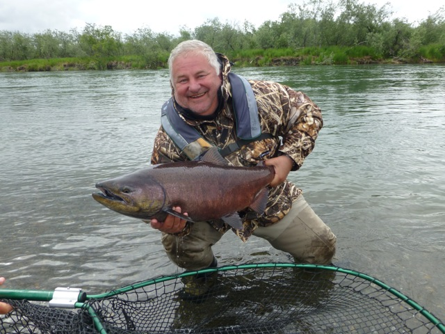 big fat chinook salmon from alaskas rivers