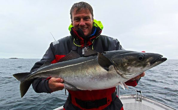 A hard fighting coalfish for my Norway Fishing Report