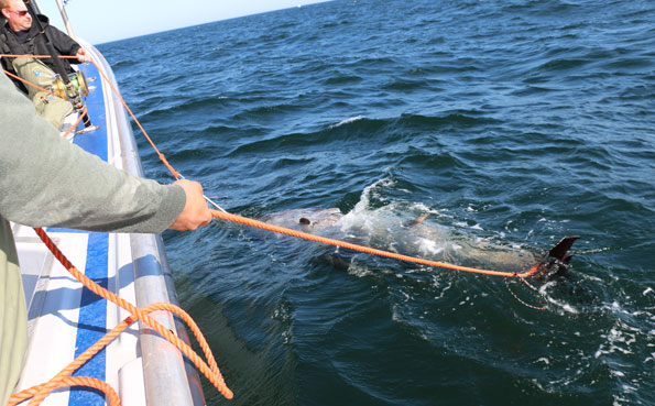 Safely tied to the boat Bluefin Tuna Fishing Report