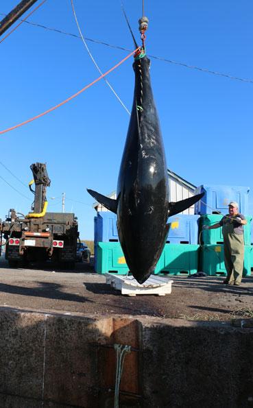 This Tuna Did not make it Bluefin Tuna Fishing Report