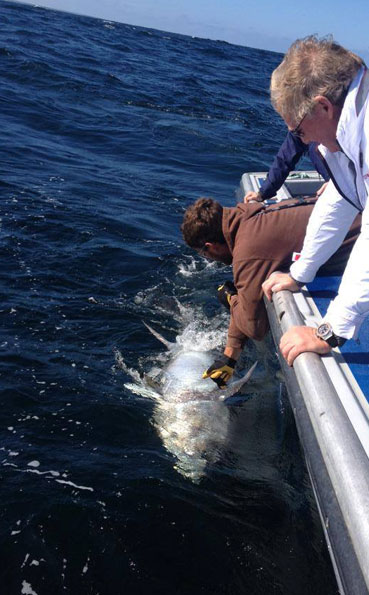 Just before its release Bluefin Tuna Fishing Report