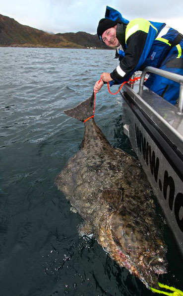 Grip and grin for Norway fishing report onHalibut caught
