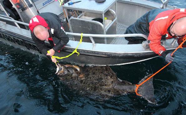 Two men releasing this huge Halibut Norway fishing report Lofoten