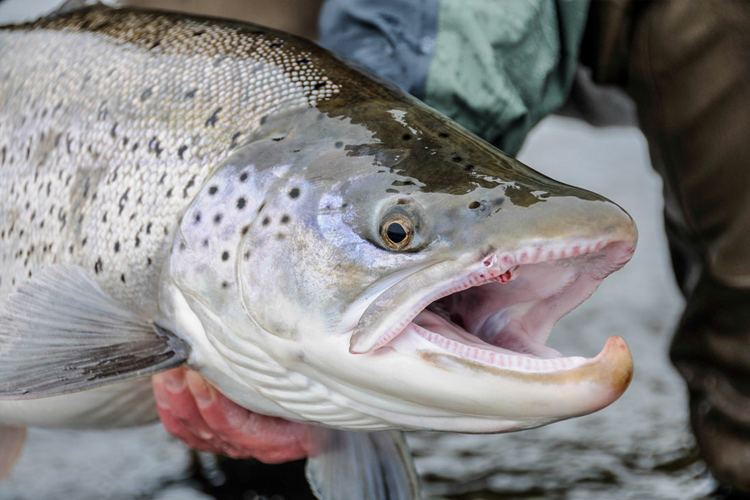Sea trout close up