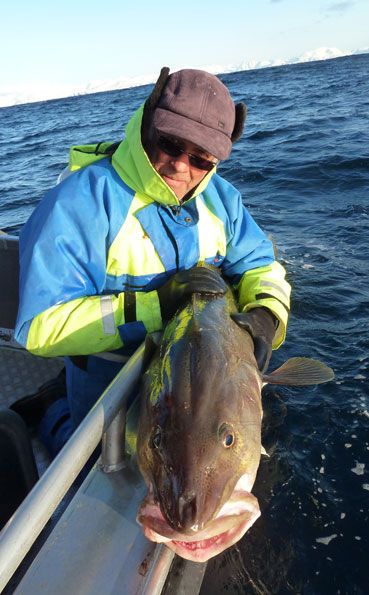Look how thick those Cod are Norway fishing report