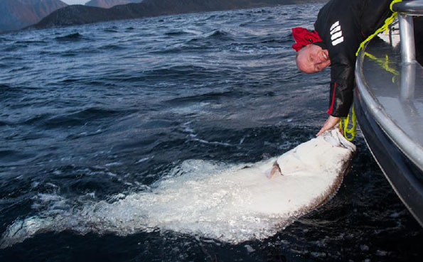 That is one massive Halibut Norway fishing report from Lofoten