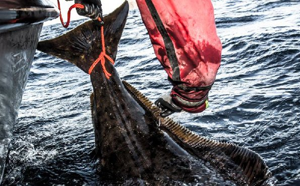 A tag going in to this halibut Norway fishing report