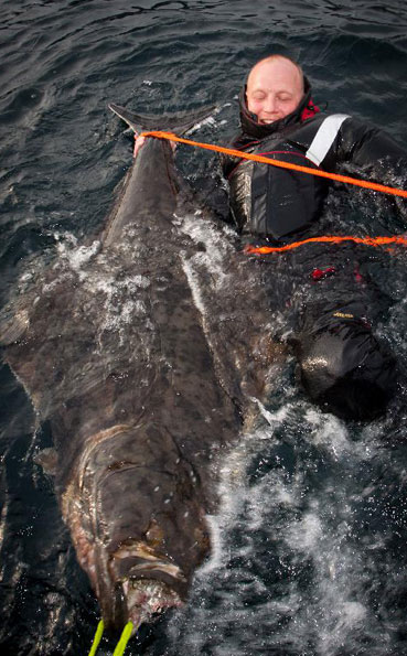 Man in the water in this Norway fishing report holding is halibut