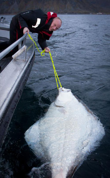 Huge Halibut caught in Norway fishing report