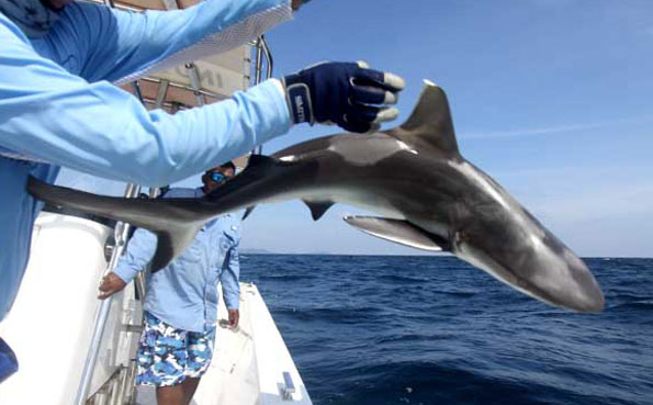 throwing a shark back Fishing Report Andaman