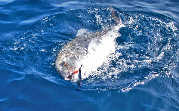 A GT on the surface ready to be unhooked Sri Lanka Fishing Report