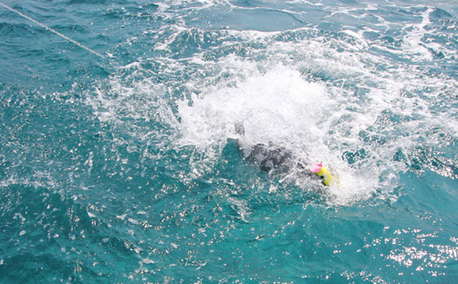A GT hitting our lure Andaman Fishing Report