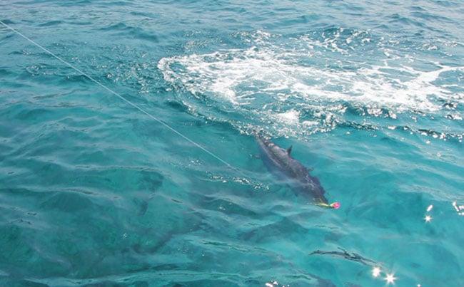 A Dogtooth tuna hitting the lure Andaman Fishing Report