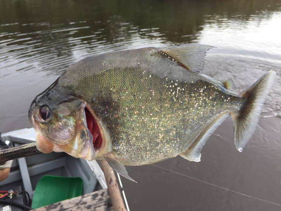 Piranha from Brazil on the fly rod Fishing Report Brazil