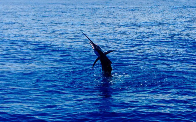 Sailfish tail walking across the surface Costa Rica Fishing Report