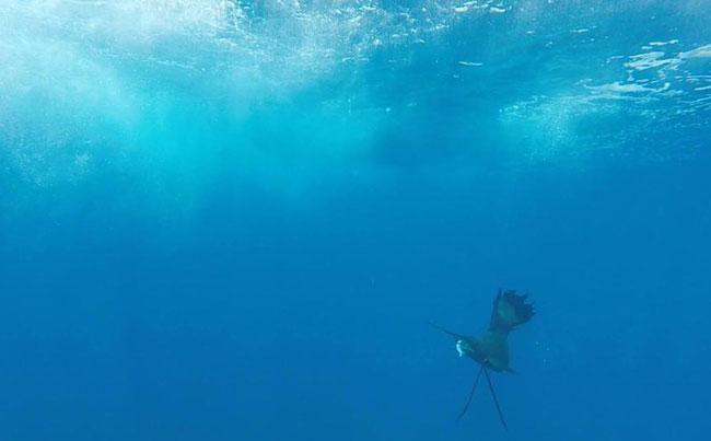 Sailfish under water Costa Rica Fishing Report