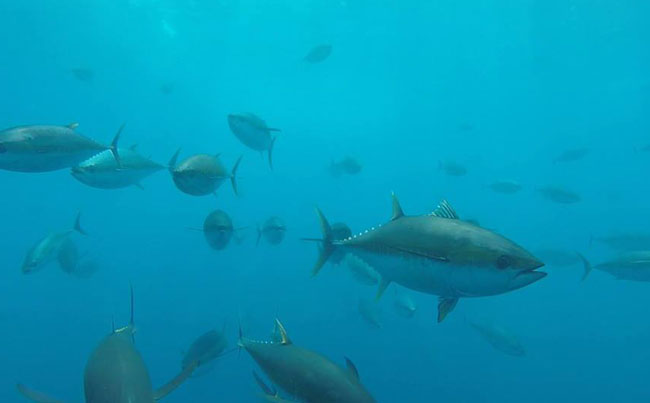 Lots of tuna under the water Costa Rica Fishing Report