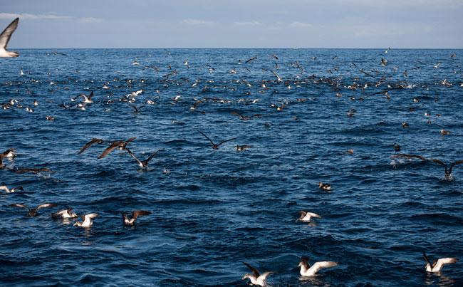 bird feeding frenzy Azores Fishing Report