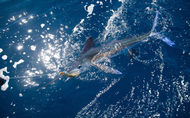 Another small white Marlin Azores Fishing Report