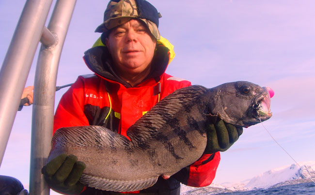 Wolfish Fishing report Norway Soroya