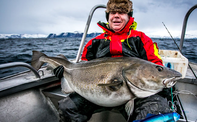 Fat cod hooked from Soroya Fishing report Norway