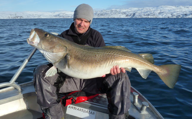What a rather large Cod you have got Norway Fishing Report