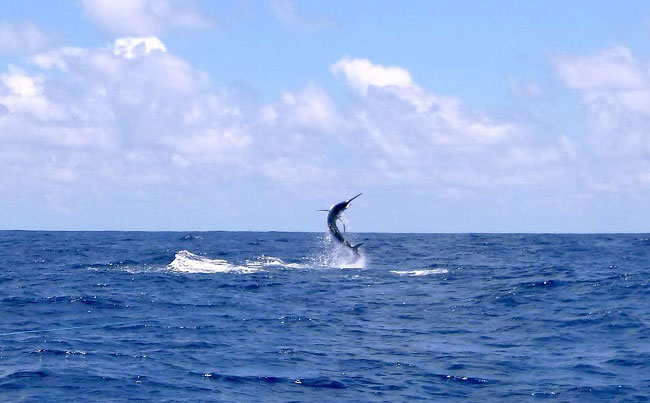 Marlin taking air Fishing Report Sri Lanka