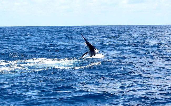 Marlin jumping Fishing Report Sri Lanka