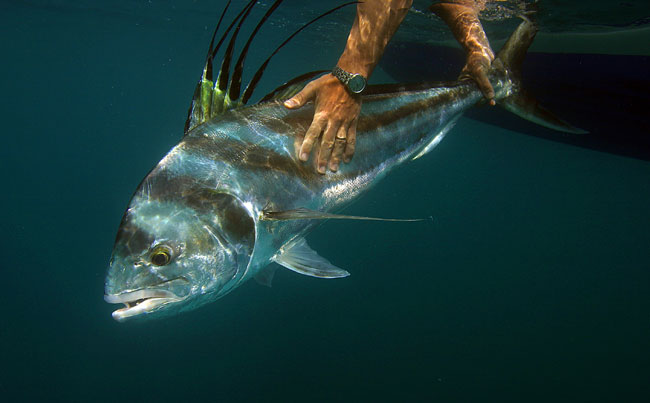 Underwater shot of a big Rooster fish Big Game Fishing Report