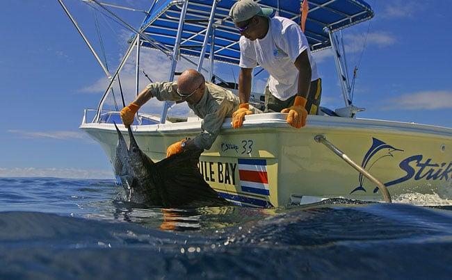 Big Game Fishing Report of releasing a huge Sailfish