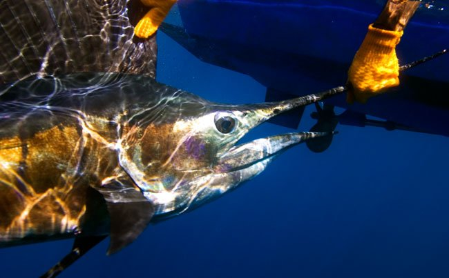 A big Sailfish under water Big Game Fishing Report